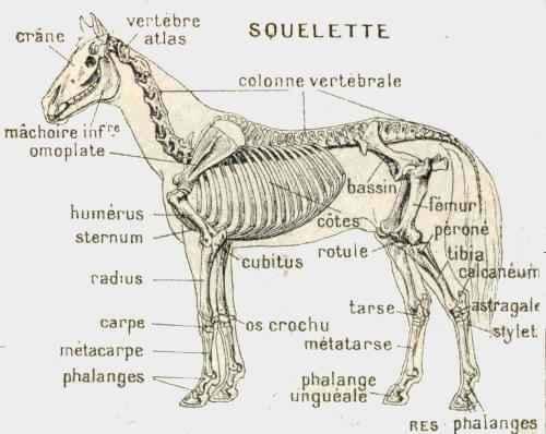 squelette dans les chevaux
